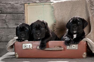 щенки кане корсо, сборы в новый дом ) щенки кане корсо