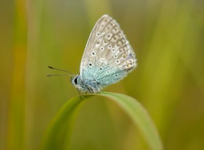 Голубянка БабочкасГолубянка Lycaenidae Raynox
