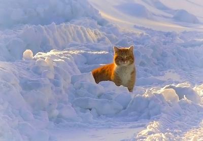 Рыжий Сибирь зима кот