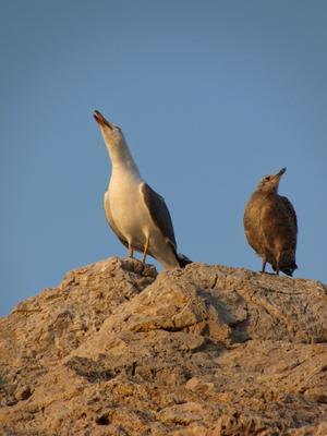 Mother & Sun. Акапелла чайка слеток чайки птенец
