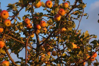Яблоки в закате Природа яблоня яблоки закат осень