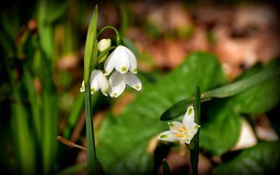 Белоцветник. весна цветы подснежники