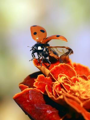 На взлет макро божья коровка насекомые
