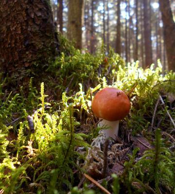 *** лес грибы