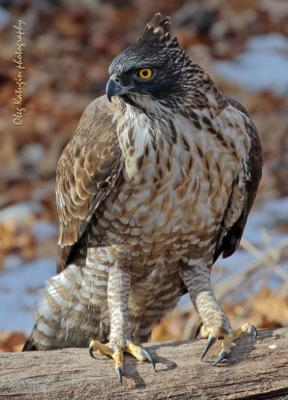 Пернатый король Хохлатый орёл Владивосток