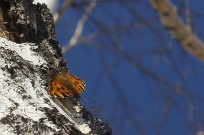 Многоцветница бабочка берёза весна лес многоцветница