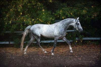 Проблеск лошадь жеребец рысак орловец