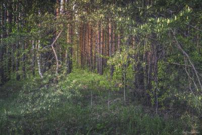 Лесные тайны лес деревья сосны природа