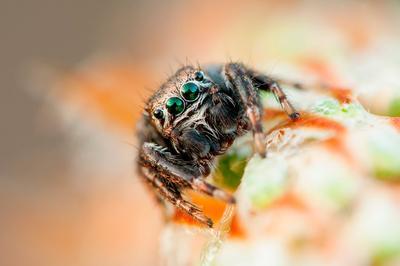 Зеленоглазик паук скакунчик