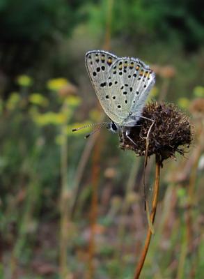 На сухом соцветии Бабочка голубянка