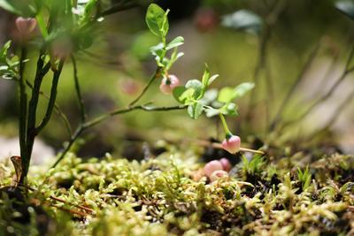 Цветение черники в лесу цветы голубика куст лес цветение мох природа веточка весна