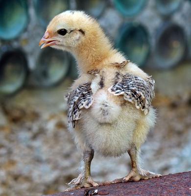 Главный претендент на куриный трон... цыпленок