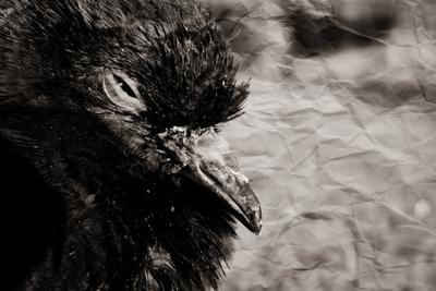 живой голубь