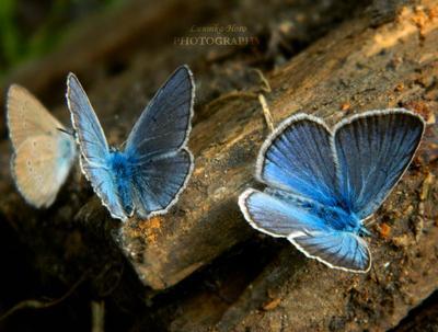 Эволюция голубянка голубой бабочка бабочки фото красивое Lunnika-Horo photo nature animal insect butterfly Siberia blue
