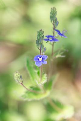 Вероника дубравная в мае вероника дубравная закат полевые цветы природа зелень май весенняя майская голубые голубой зелёный макро крупным планом