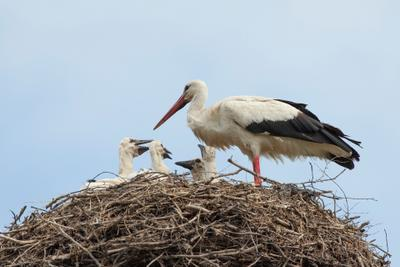 В этот раз - четверо! птицы аисты природа гнездо потомство размножение семья птенцы