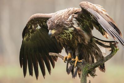 Размер величия орлан птицы хищник