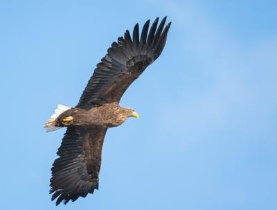 Орлан-белохвост / White-tailed eagle
