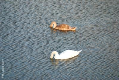 Дорогая, ты на меня еще дуешься? London, Лондон, Wetland, лебеди, пруд, вода, ветер, волны