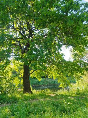 В тени дуба природа город дерево дуб