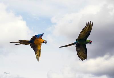 Прекрасен полёт ара