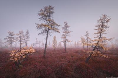 """""""Лиственницы в тумане"""" Колыма Дальний Восток Магаданская область озеро Джека Лондона краски осени осень туман"""