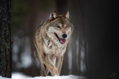 Я вижу цель .. волк wolf красная шапочка беларусь canis lupus red riding hood серый обыкновенный евразийский европейский