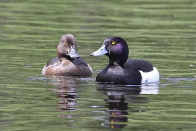 хохлатая чернеть, пара птицы водоплавающие хохлатая чернеть