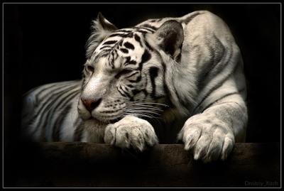 Чёрно-белые сны. белый тигр, зоопарк