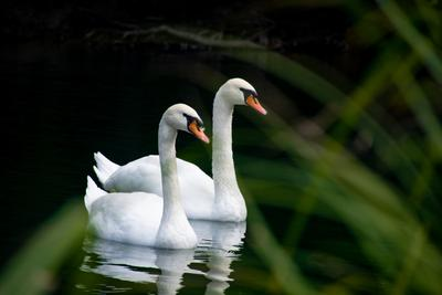 пара белых лебедей лебеди пара лебедей белый лебедь