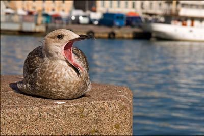 Скучно с вами... чайка, хельсинки, птица
