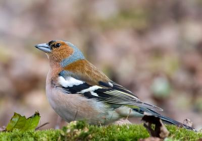 Зяблик птицы природа зима весна лес Москва