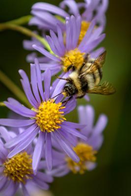 *** шмель пчела нектар цветы осень