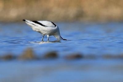 Страус попался .... воденой причем .... Шилоклю вка Recurvirostra avosetta природа птица
