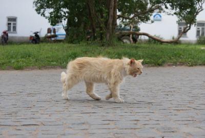 Валаамский сторожевой тигр продолжая тему котов