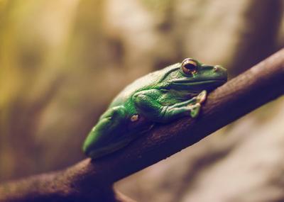 Лягушка Лягушка зеленая
