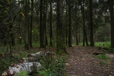 Туманное утро в лесу Лес пейзаж деревья ели ёлки тропинка туман бревна