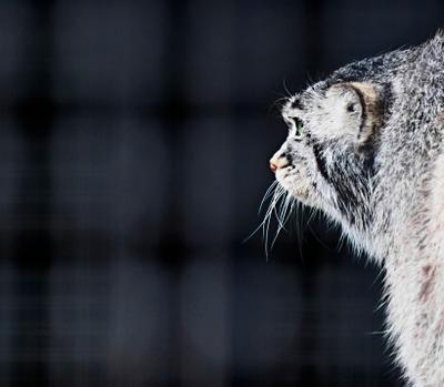 Манул в клетке Манул кошачьи хищник