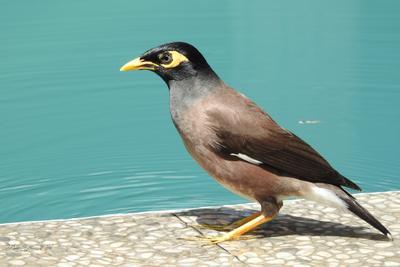 Обыкновенная майна Фотоохота птицы Таиланд майна
