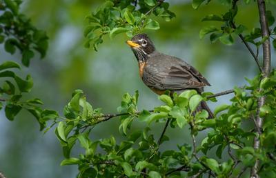 American robin (female)