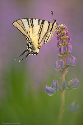 Подалирий (Iphiclides podalirius) wildlife, макро, Подалирий, iphiclides podalirius, парусник, tatyana_zarubo