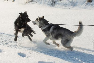 Мужчина, я вас боюсь!!! хаски собака охота снег