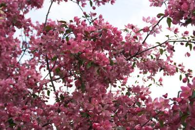 Яблоня Недзвецкого яблоня весна цветы