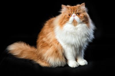 Рыжий с белым кот кошки персидский