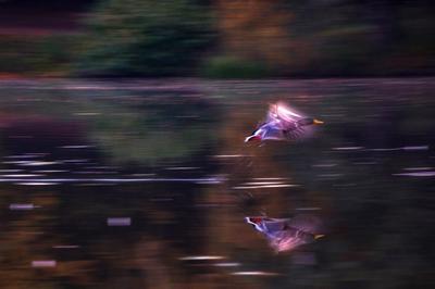 Утиный полет утка птицы природа полет осень вода