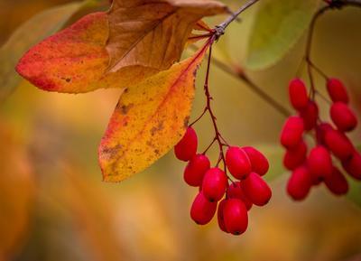 Барбарис природа растения.осень ягоды барбарис