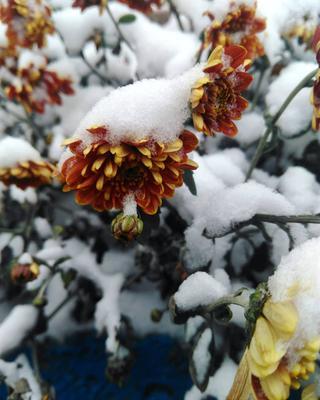 Под снегом первый снег цветы под снегом