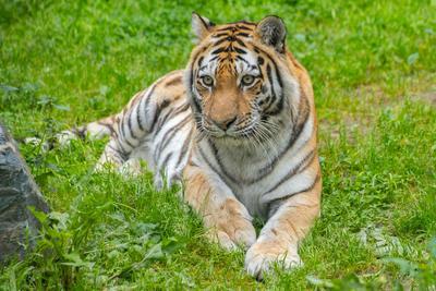 ***Амурская тигрица.