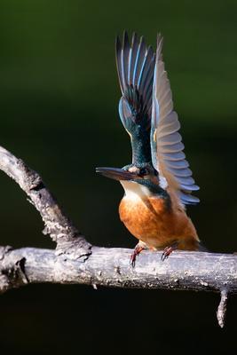 Утренняя зарядка ... Alcedo atthis зарядка зиморо док природа птица