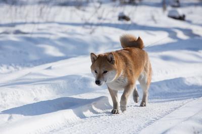 И вот иду я по дороге сиба-ину собаки зима отдых шиба-ину лес дорога
